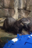 This otter at the Georgia Aquarium hopes to submit his application to TCU this fall.